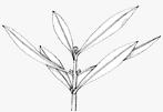flower bud differentiation